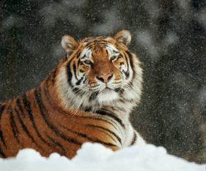 25 сентября. День тигра на Дальнем Востоке